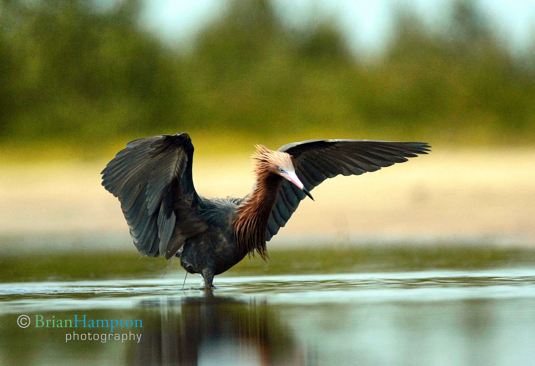 Mantling Egret