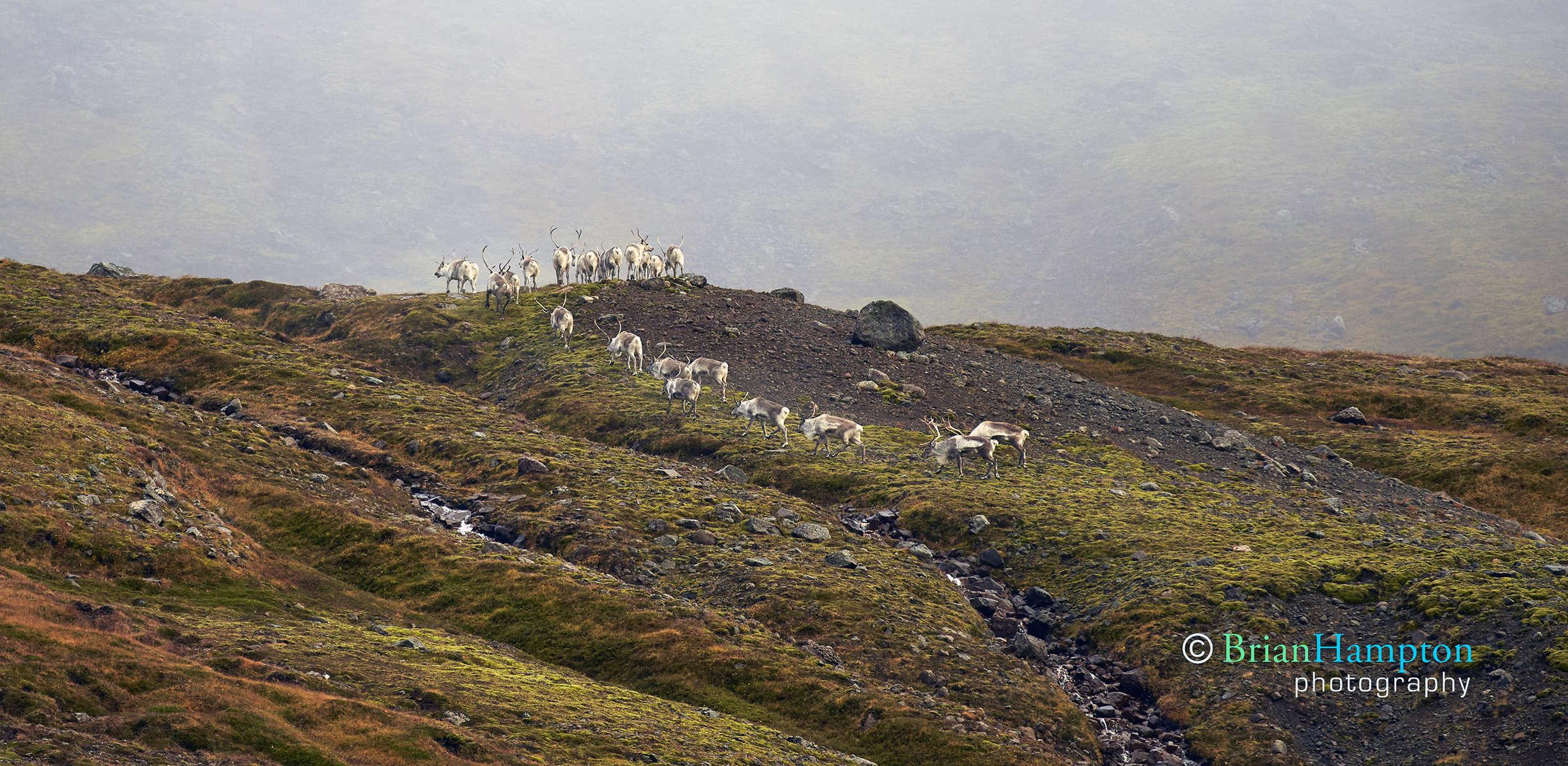 Reindeer-in-Iceland_0297-1