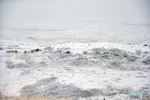 Sheep-in-a-snowstorm_9451