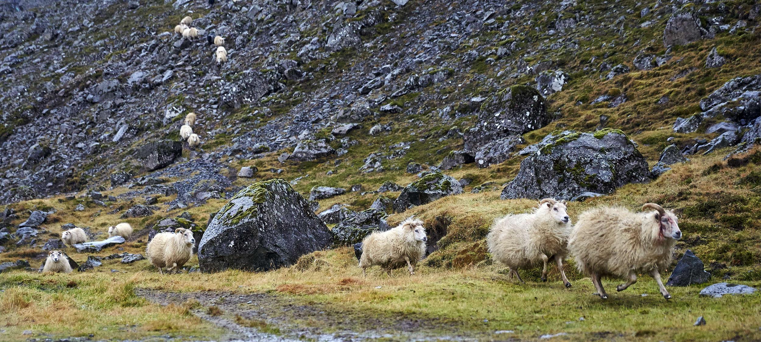 Sheep-on-the-run_9487