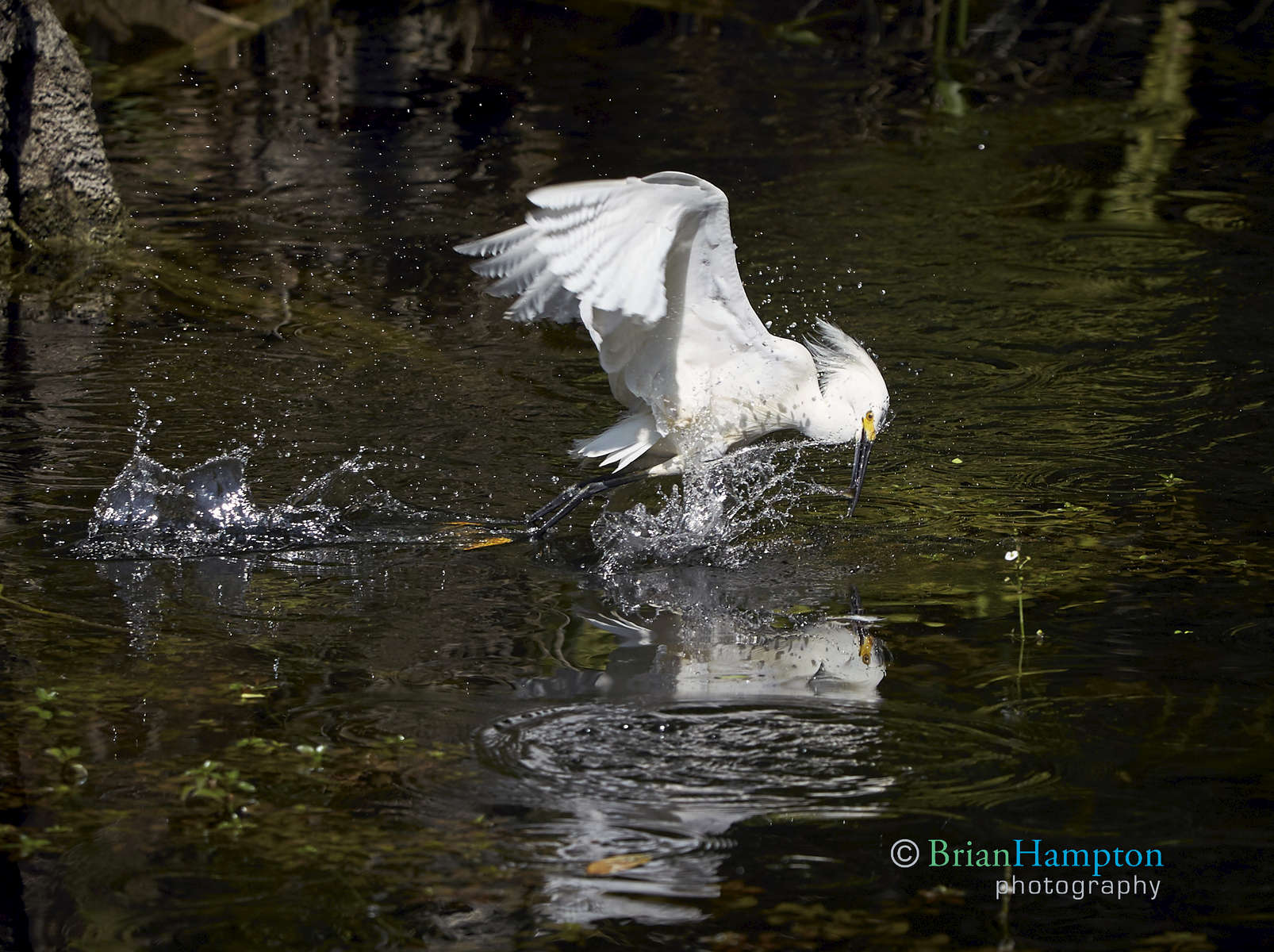 Snowy-Egret-March7th2015_4134