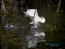 Snowy-Egret-March7th2015_4134