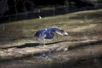 Tri-Colored-Heron_0517