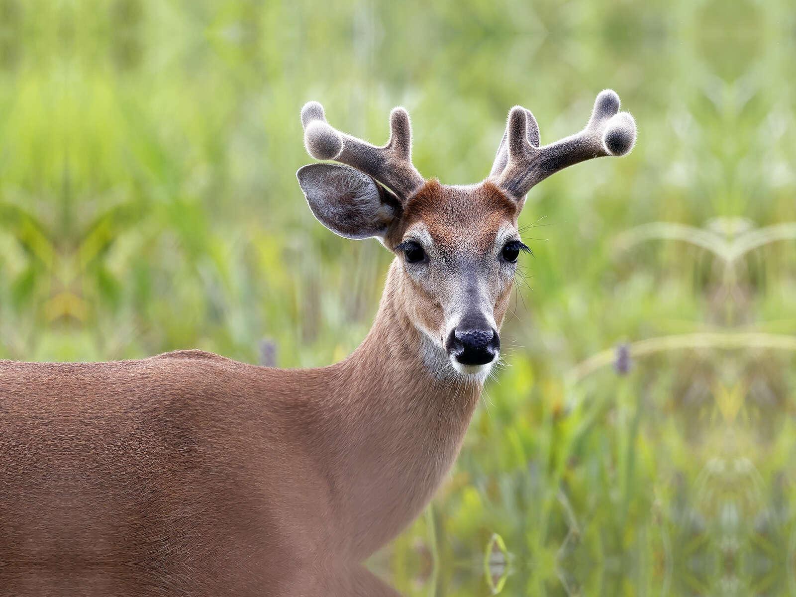 Velvet Buck