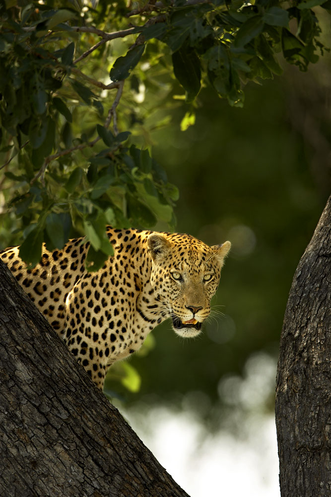 Vumbura Leopard