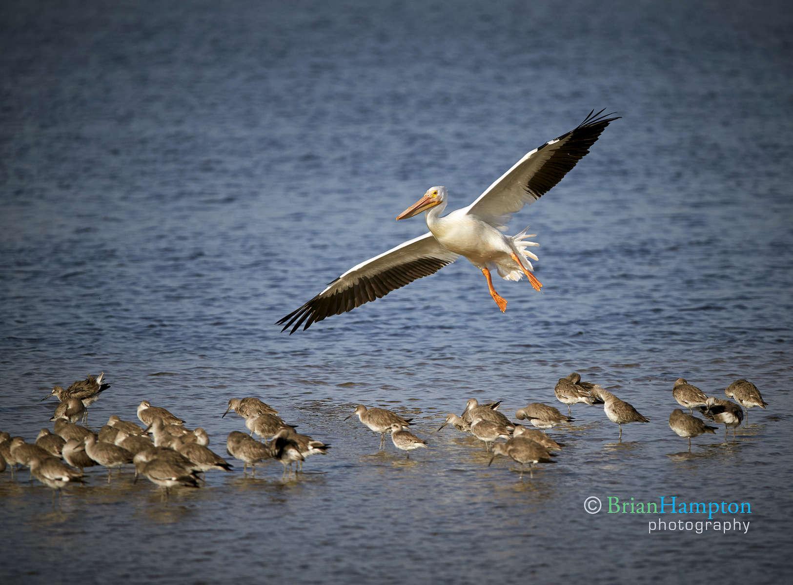 White-Pelican-March2016_0077-5