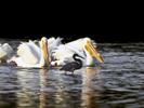 White-Pelican_6567