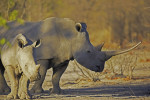 White Rhino with Calf