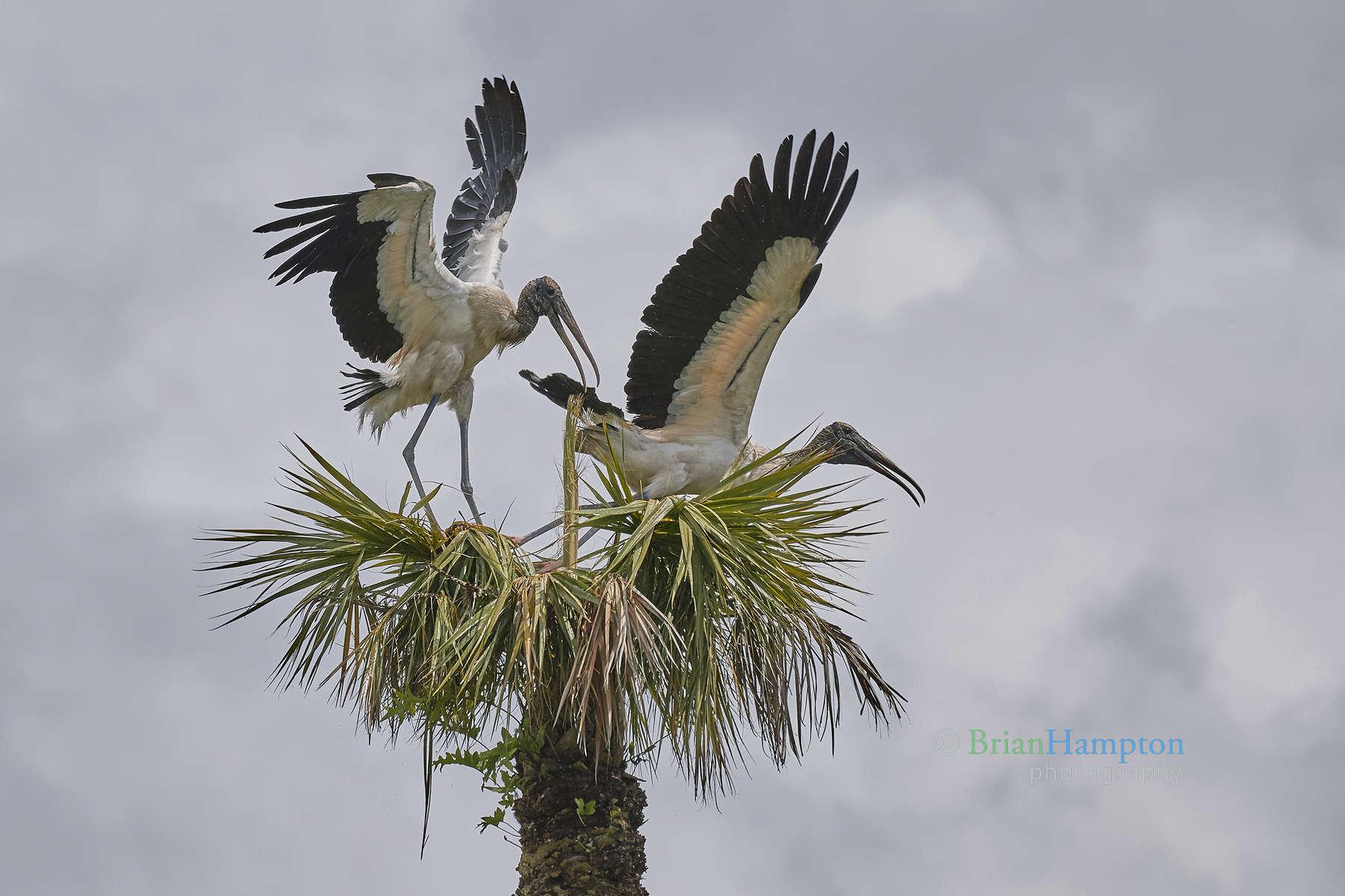 Wood-Stork-Dominance-April2018_0959