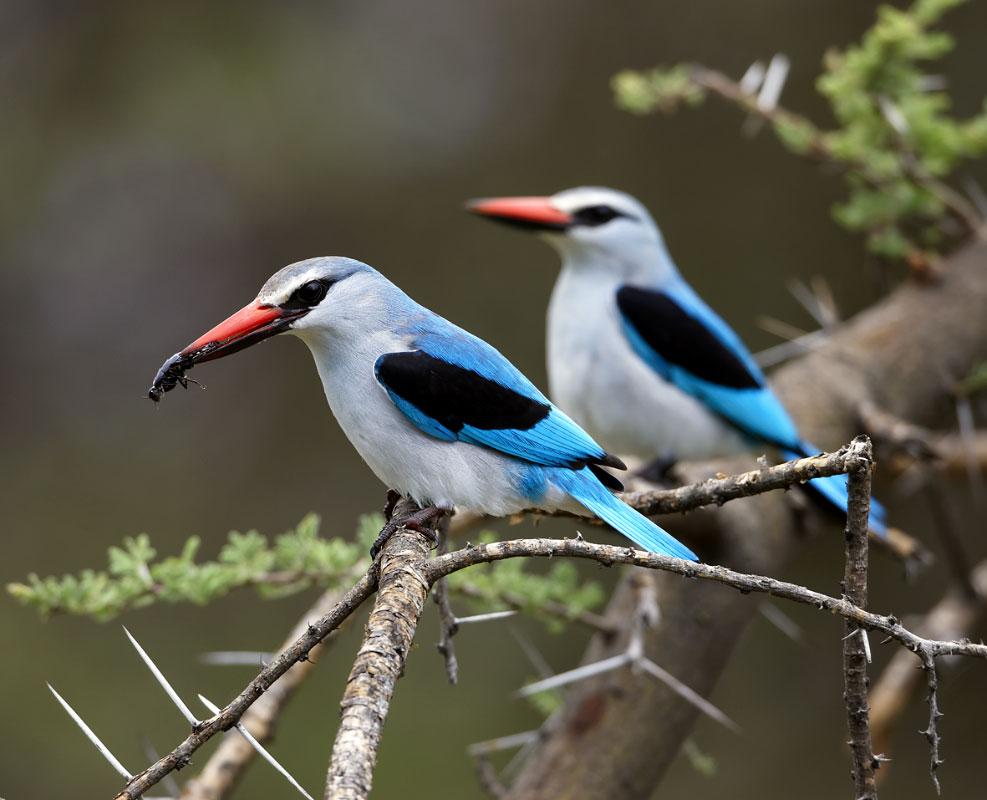 Woodland Kingfisher 1 2