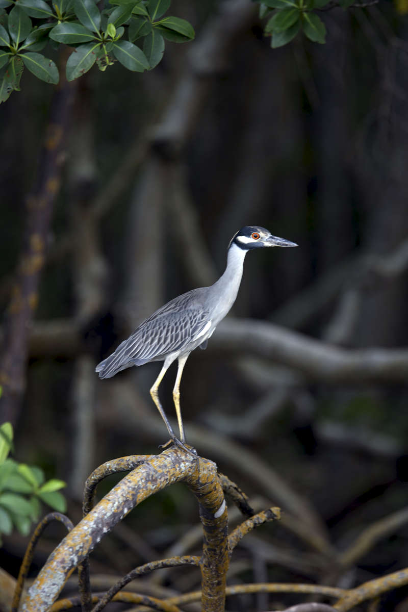 Yellow-Crowned-Night-Heron_1380