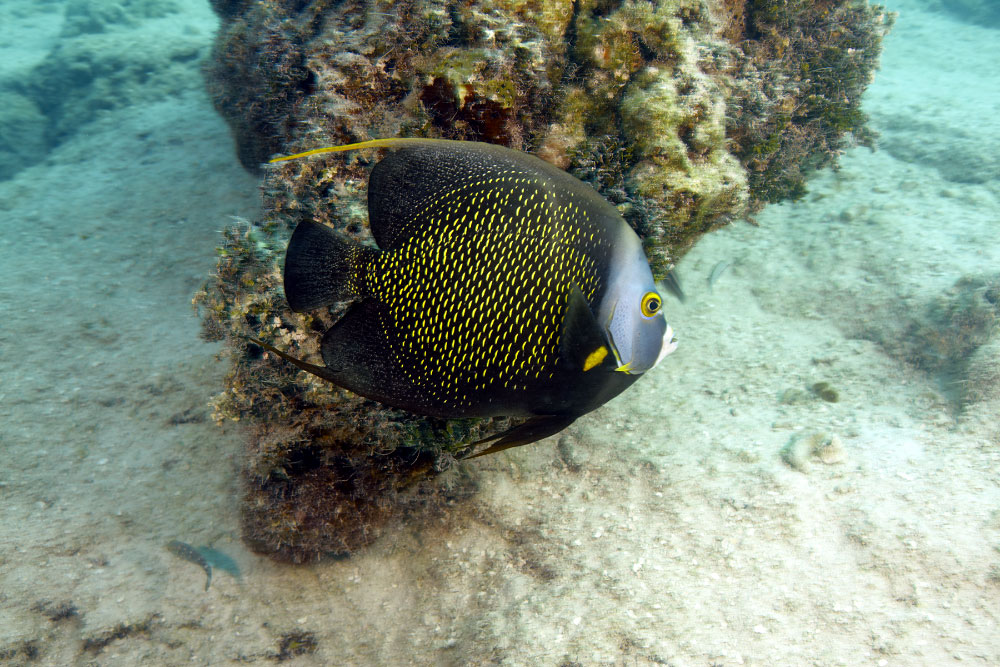 Yellow Speckled Angelfish