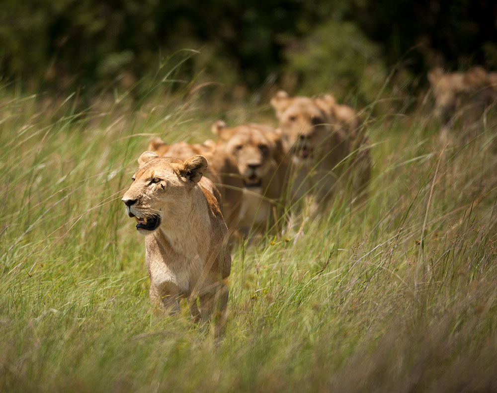 Lioness Five on the Hunt