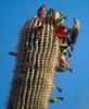 Cactus-Pecker-0621