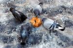 Pidgeons Feeding - NYCV