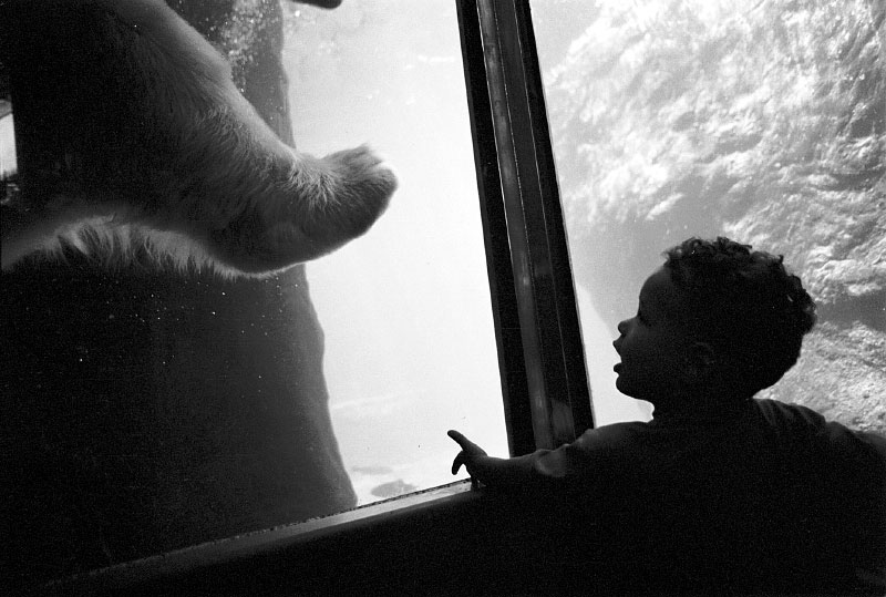 Polar Bear, Central Park Zoo - NYC
