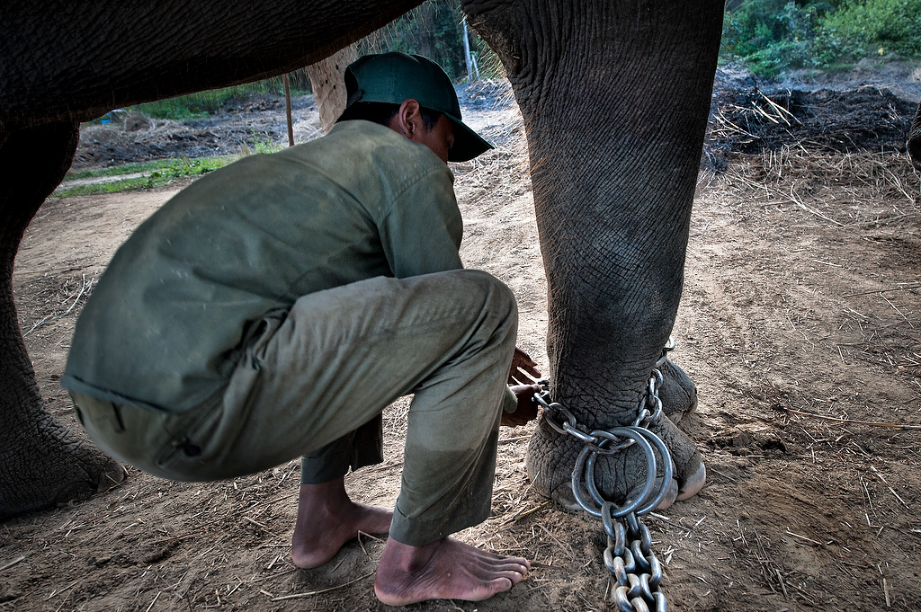 Raju Choudhary elephant handler, chains his ten year old elephant Parasa as he prepares him to saddle him.