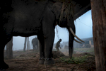 Buddhi Chowdhary (26) prepares his elephant for safari.