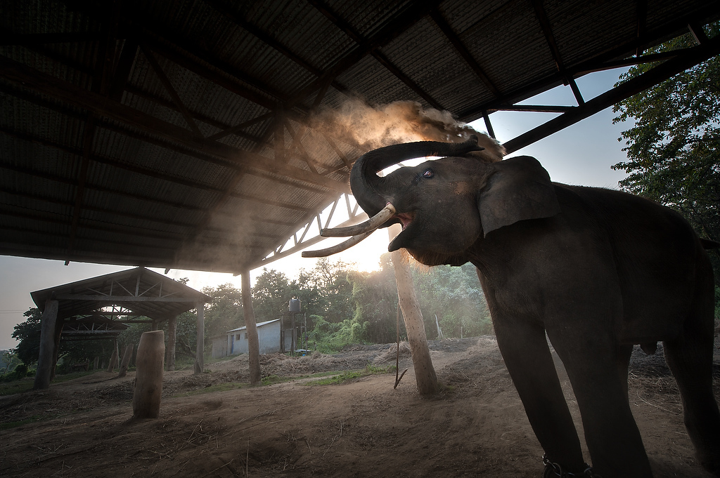 Parasa a ten year old male elephant throws dust on his back.