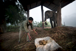 Buddhi Chowdhary (26) collects manure of his elephant Bahadurgaj, an 19 years old male elephant born in captivity.