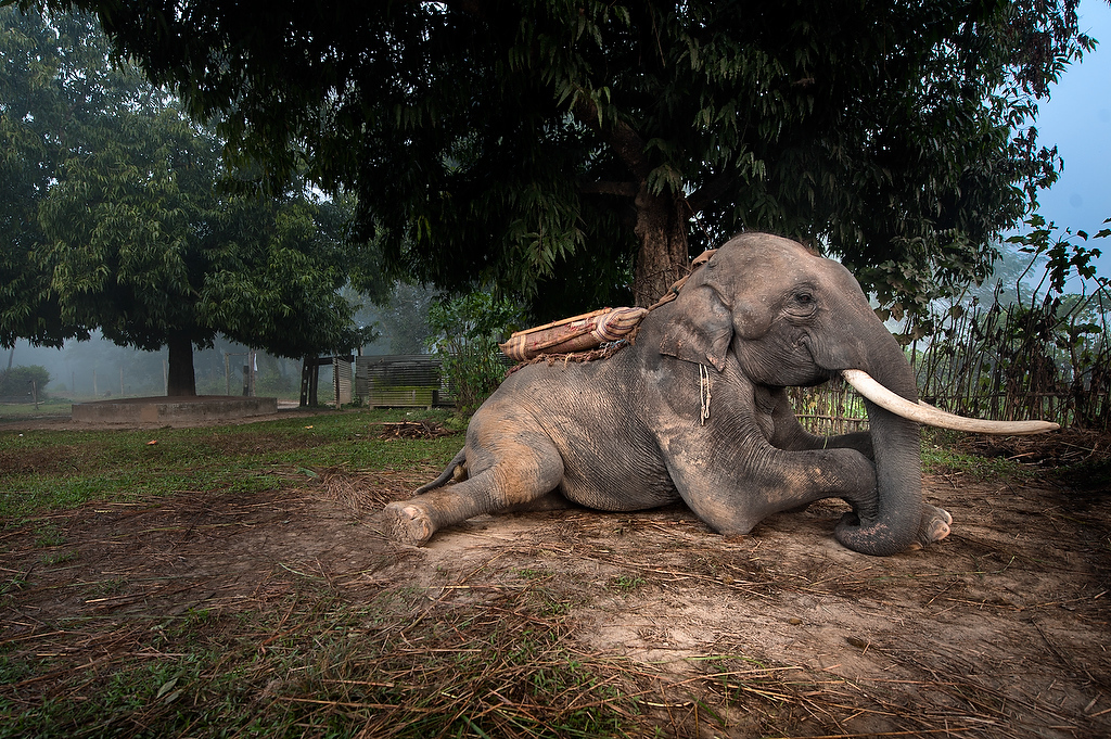 An 19 years old male elephant Bahadurgaj, sits on the ground while his handler saddles him for elephant safari. Bahadurgaj was born in captivity.