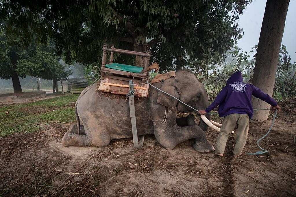 An 19 years old male elephant Bahadurgaj, sits on the ground while his handler saddles him for elephant safari. Bahadurgaj was born in captivity.