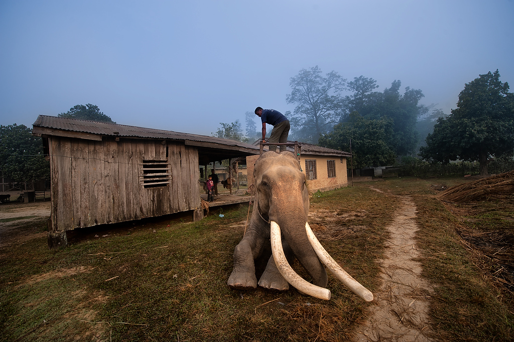 An 19 years old male elephant Bahadurga sits while his handler puts a saddle on his back.