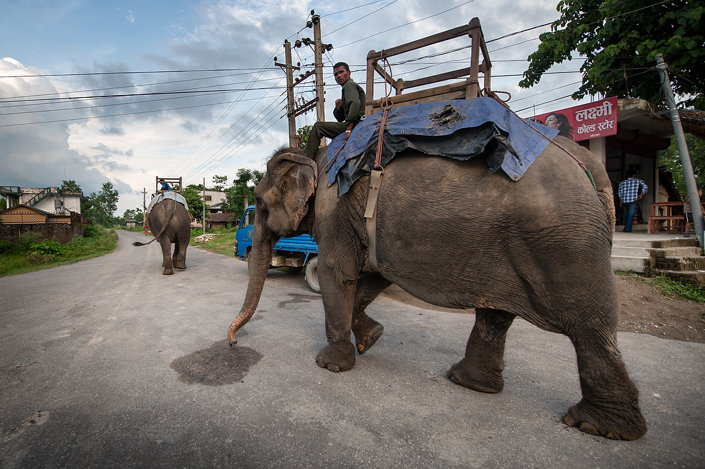 Mahout Raju Choudhary rides his elephant Parasa back to Hattisar Soura elephant stable from Chitwan National park.