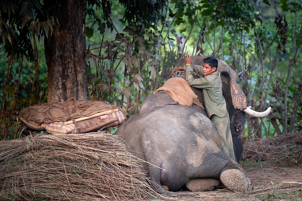 As the day ends Mahout Buddhi Chowdhary unseddles his 19 years old elephant Bahadurgaj.