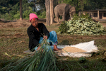 Mahout Meena Mahato prepares food for her elephant.