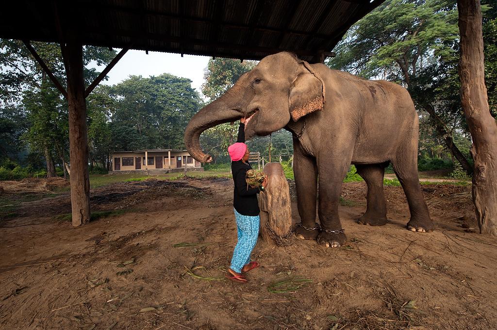 Mahout Meena Mahato feeds her elephant.