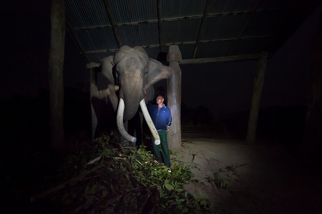 Shrimangal Chowdhary (37) checks his elephant as the evening falls.Shrimangal has been elephant handler for 15 years, his elephant Dipendra gaj is a 45 year old male elephant.