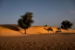 Camels walk past the sand dune in wadi Badha in Tkamkamt oasis.