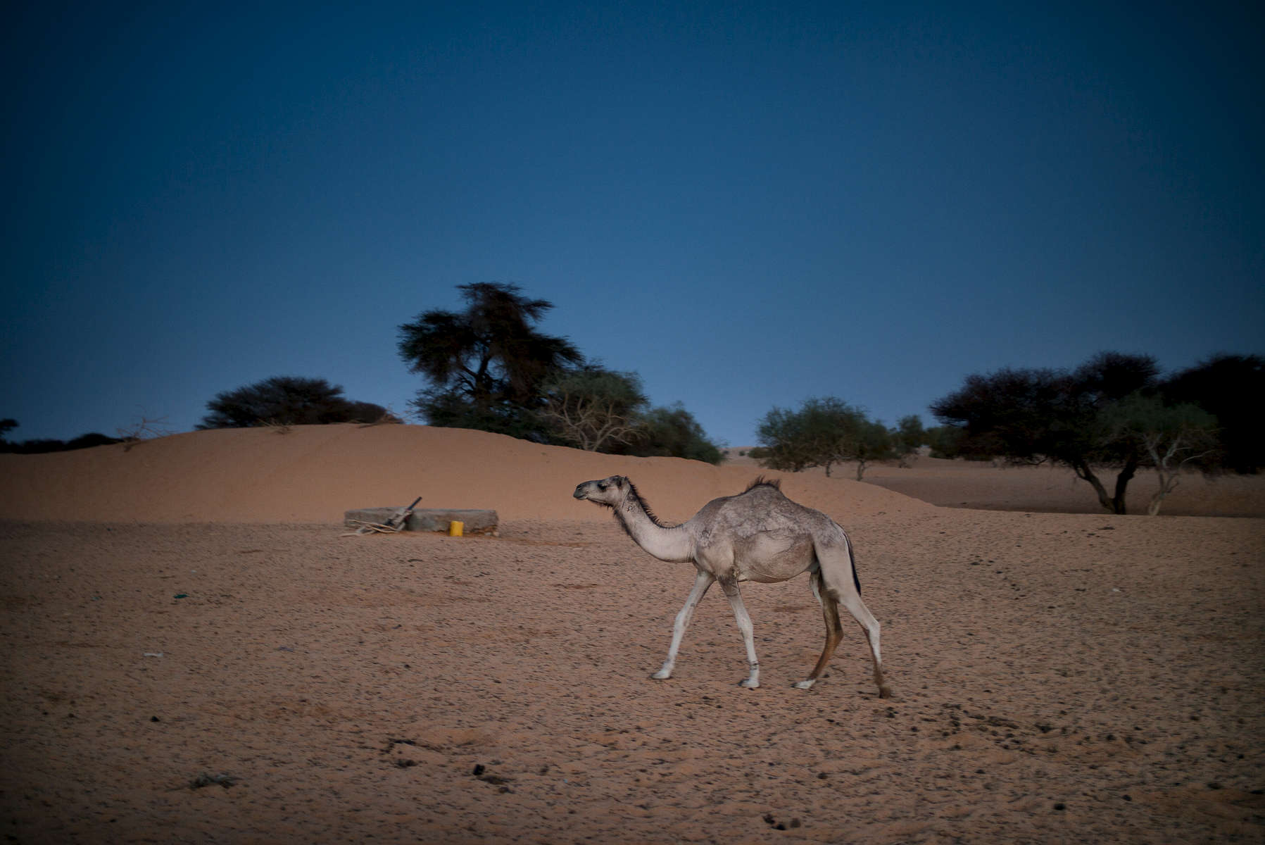 A camel at Lhueeb, nomad camp in outskirts of Chinguetti.