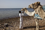 A man adjusts the reigns on a camel at the Blue Hole (back) outside of Dahab, Egypt. The Blue Hole is notorious for the number of diving fatalities which have occurred there, earning it the sobriquet