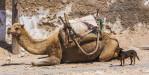 camel_dog