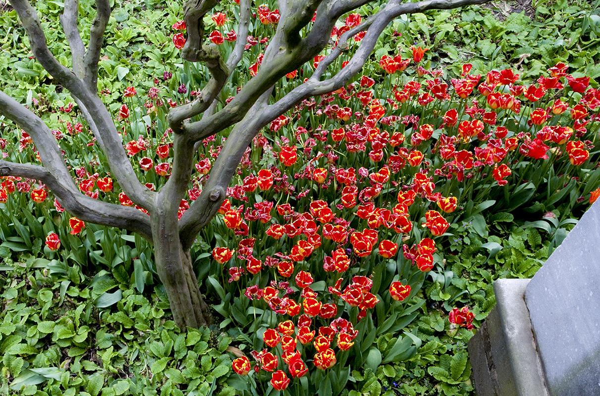 istanbul_tulips