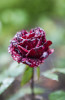 loire_rose