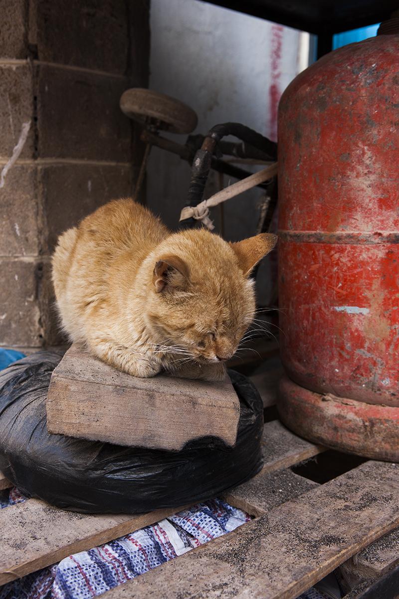 moroccan_cat