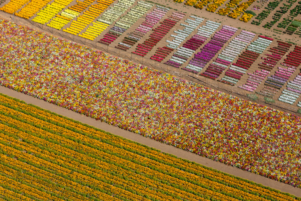 Flower Fields, Lompoc, CA 2013 (130825-0291)