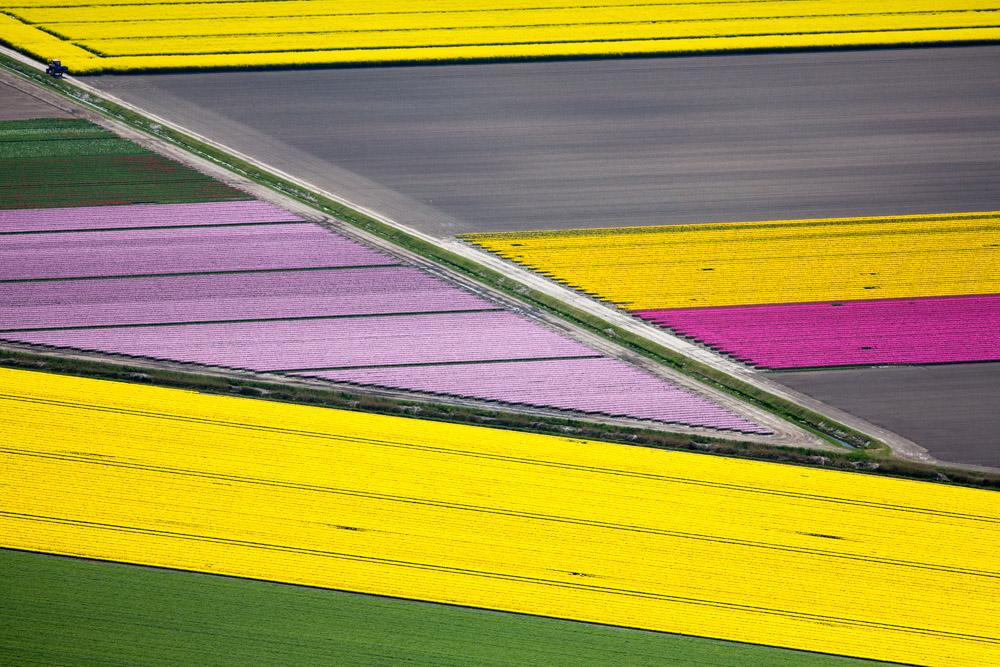 Diagonal Flower Fields, Netherlands 2015 (150502-0165)