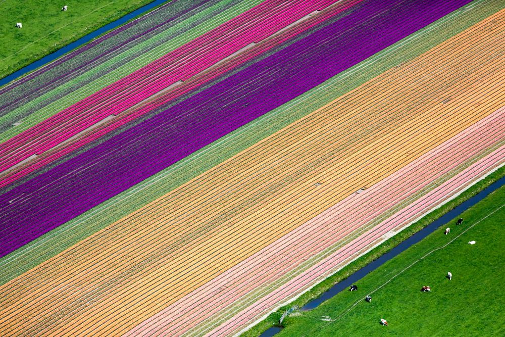 Tulip Farming, Hoorn, Netherlands 2015 (150502-0600)