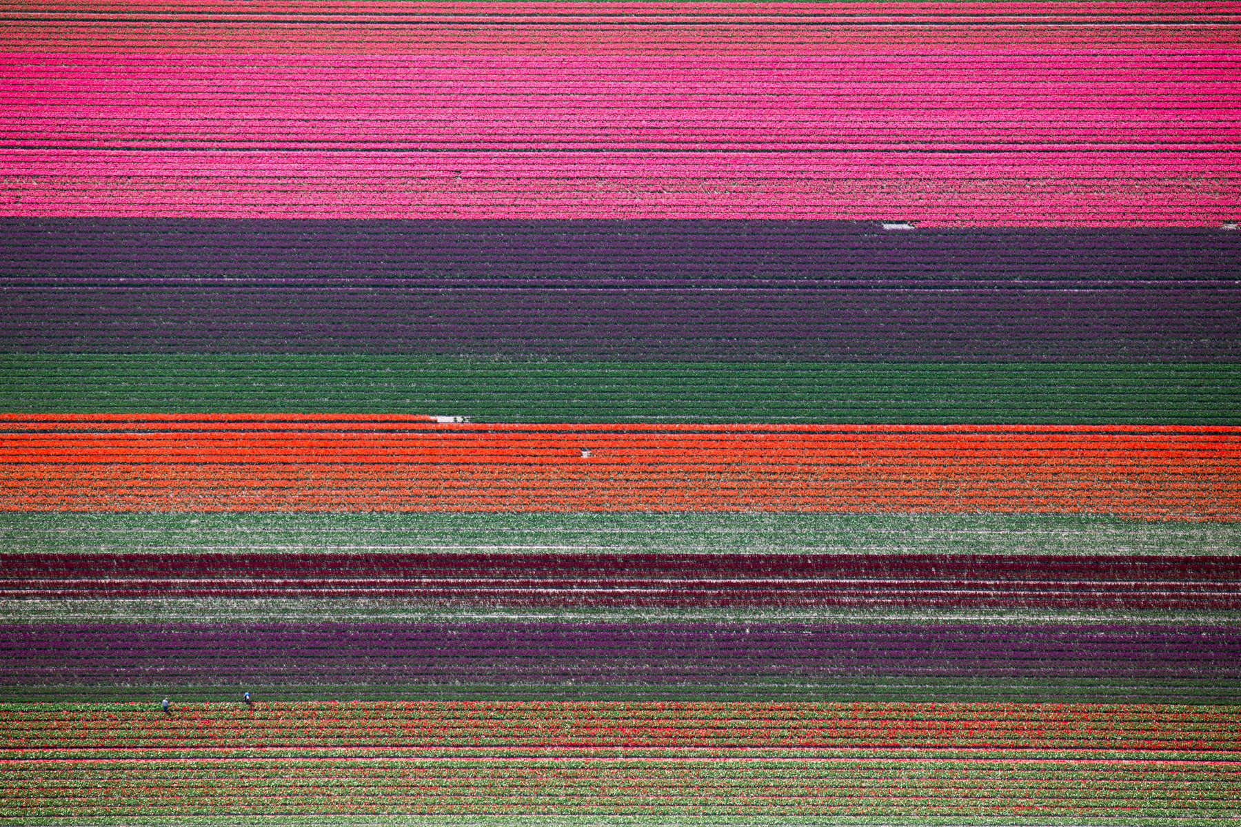 Fields of Color, Netherlands 2015 (150502-0201)