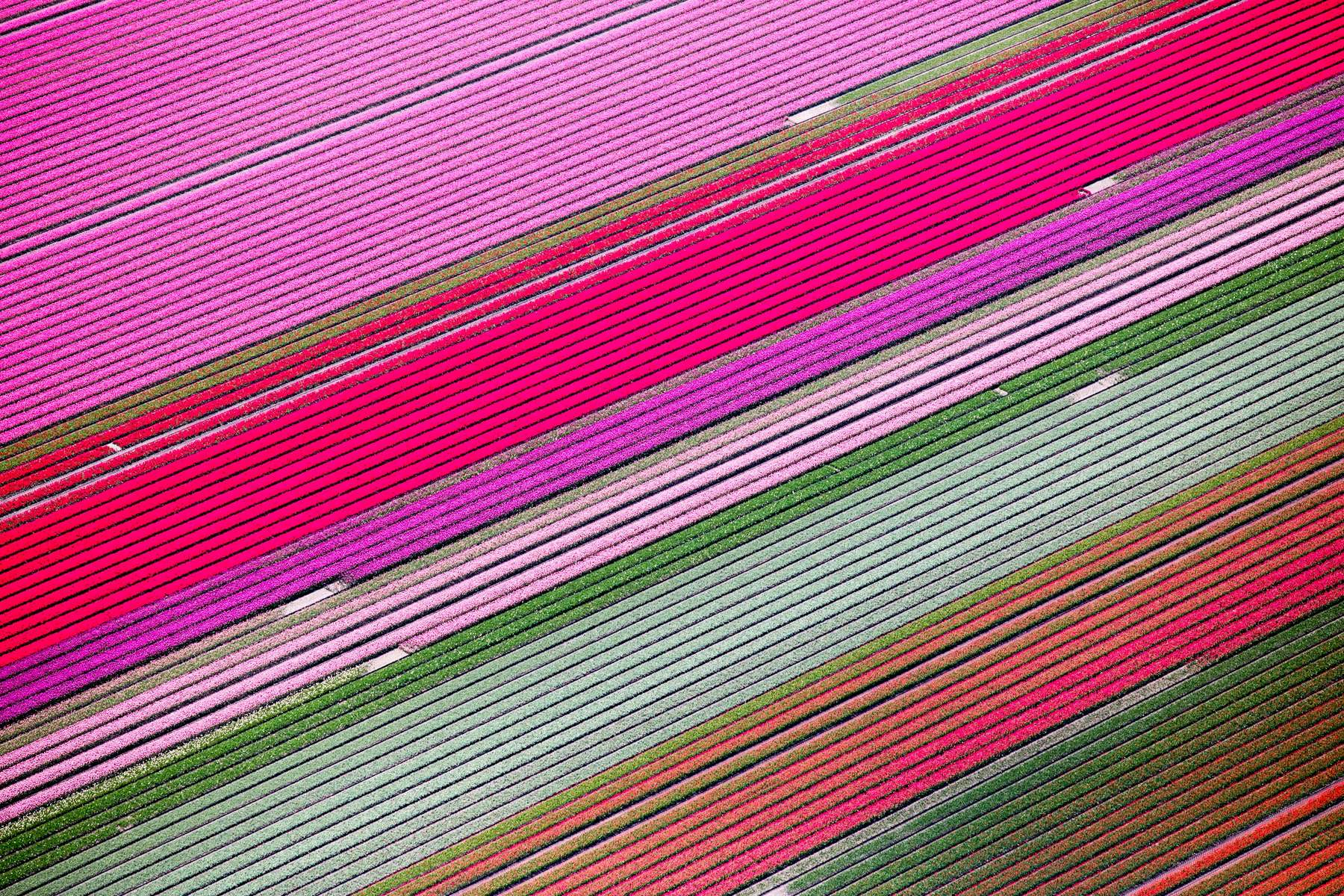 Hues of Pink Tulips, Netherlands 2015 (150502-0195)