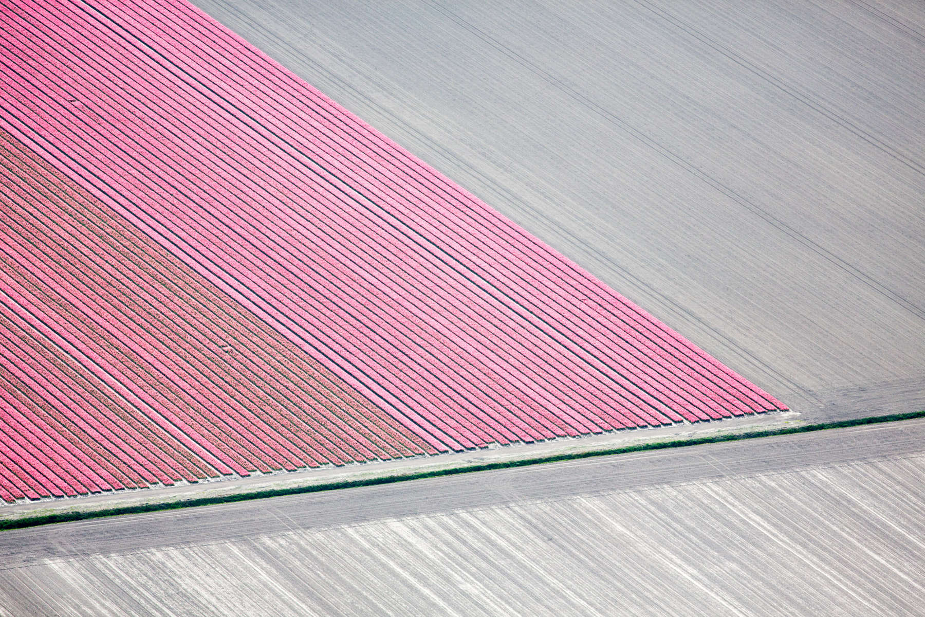 Pink Tulip Strips, Netherlands 2015 (150510-0094)Prices and availability are subject to change without notice.