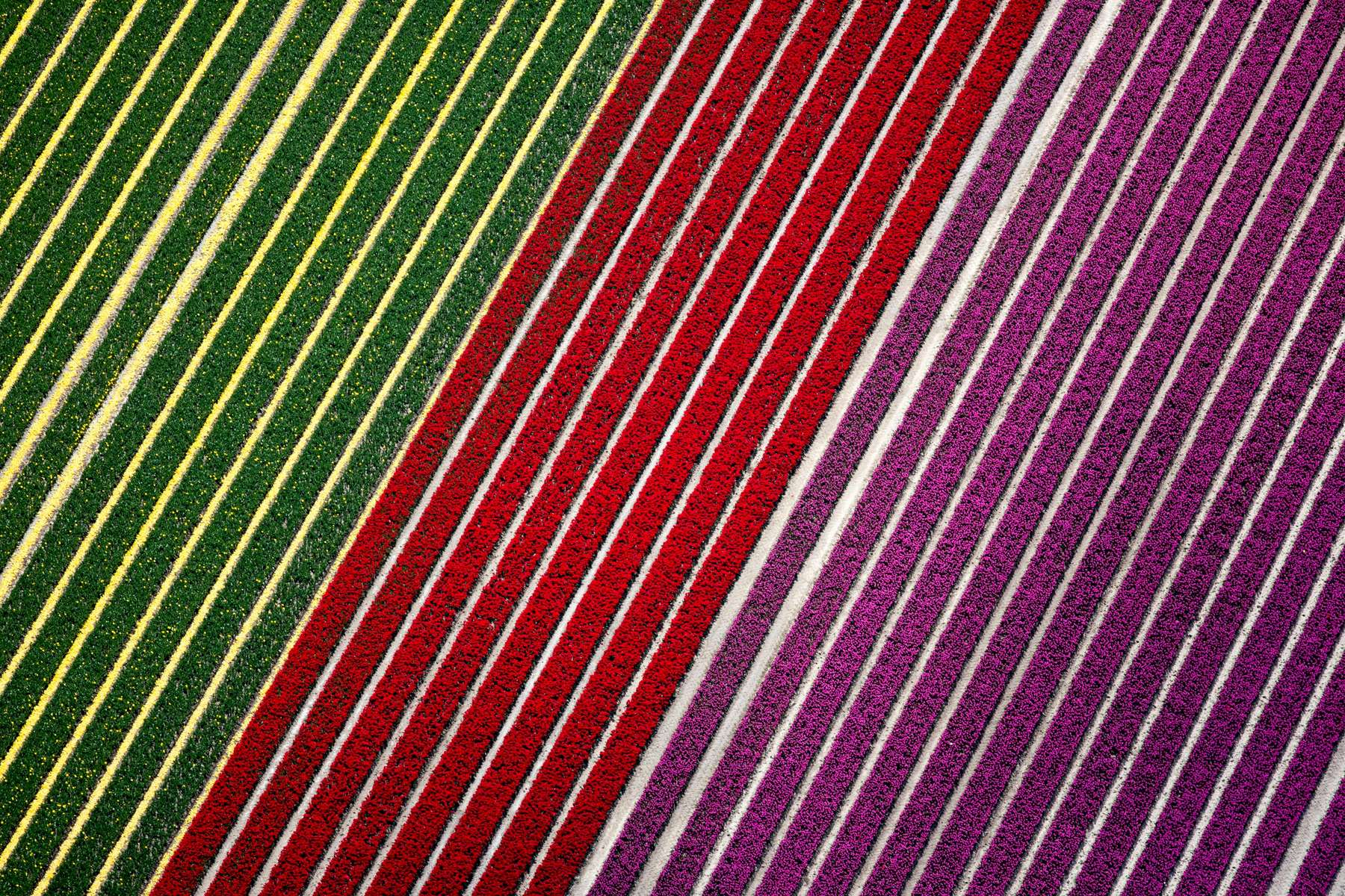 Tulip Stripes, Netherlands 2015 (150502-0520)
