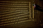 A Farmer Bales Windrows of Barley ShaftConrad, MontanaFilm, Ref #: LS_4740_14