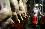 blood, apron, knife, hog, pig, slaughter, hard hat, trough