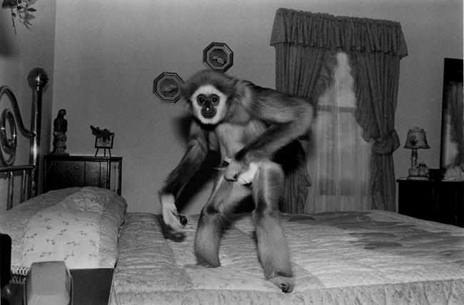 Gibbon, female, 4 years old