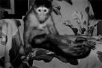 Capuchin, female, age unkown